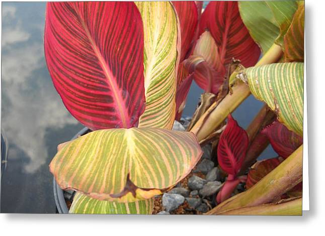 Canna Lily Fall Colors Greeting Card by Clifton Keller
