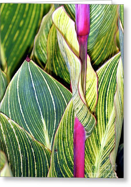 Canna Photographs Greeting Cards - Canna Lily Foliage Greeting Card by Dr Keith Wheeler