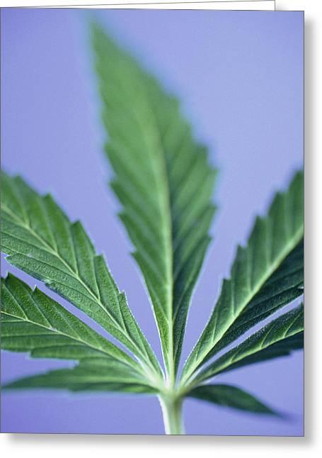 Marijuana Photographs Greeting Cards - Cannabis Leaf Greeting Card by Cristina Pedrazzini