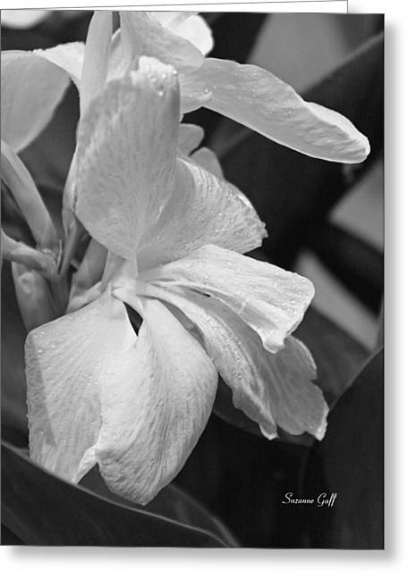 Canna Greeting Cards - Cannas Amarillo in Black and White Greeting Card by Suzanne Gaff
