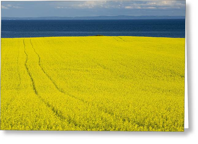 Canola Field, Guernsey Cove, Prince Greeting Card by John Sylvester