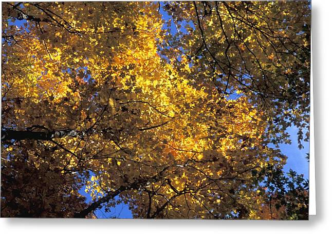 Canopy Of Autumn Branches Greeting Card by David Chapman