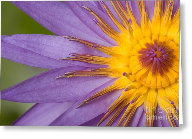 Cape Lily Greeting Cards - Cape Blue Waterlily Nymphaea Capensis Greeting Card by Ted Kinsman