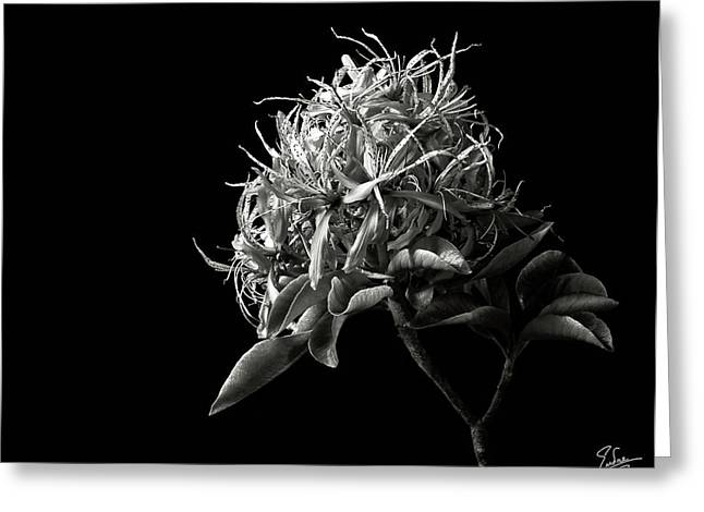 Flower Photos Greeting Cards - Cape Chestnut in Black and White Greeting Card by Endre Balogh