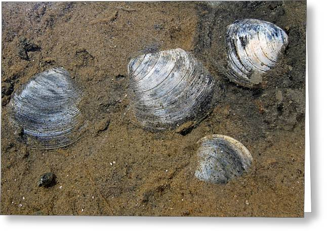 Nauset Beach Greeting Cards - Cape Cod Clam Shells Greeting Card by Juergen Roth