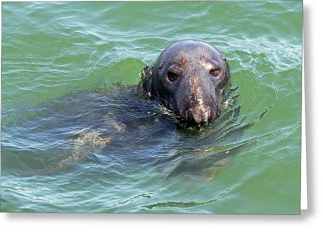 Cape Cod Harbor Seal Greeting Card by Juergen Roth