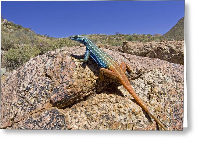 Cape Flat Lizard  South Africa Greeting Card by Piotr Naskrecki