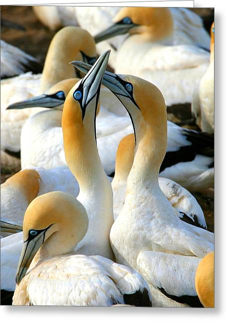Gannet Greeting Cards - Cape Gannet Courtship Greeting Card by Bruce J Robinson