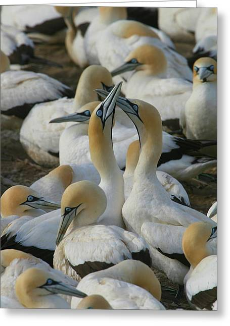 Gannet Greeting Cards - Cape Gannets Greeting Card by Bruce J Robinson