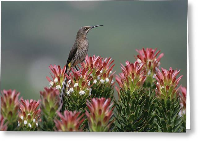 Proteaceae Greeting Cards - Cape Sugarbird Promerops Cafer Male Greeting Card by Gerry Ellis
