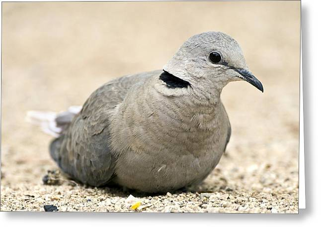 Northern Africa Greeting Cards - Cape Turtle Dove Greeting Card by Peter Chadwick