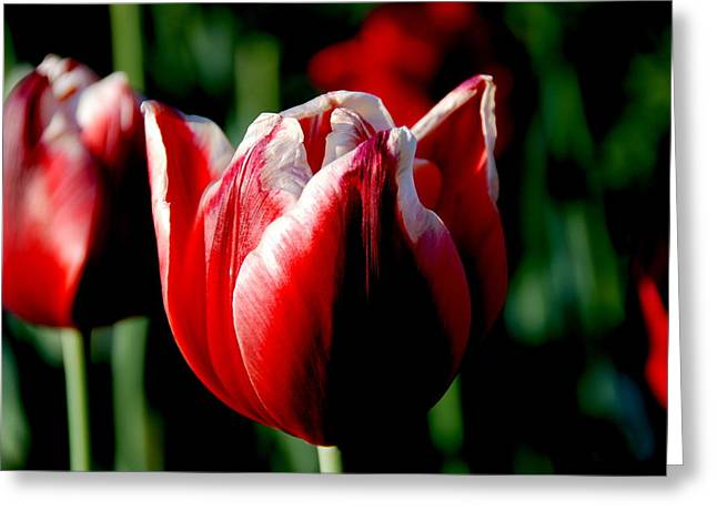 Capital Tulip Greeting Card by Christy Phillips