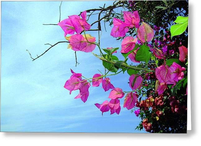 Pink Flower Branch Digital Art Greeting Cards - Capri Bougainvillea Greeting Card by Mindy Newman