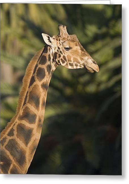 Captive Animals Greeting Cards - Captive Baringo Giraffe Giraffa Greeting Card by Rich Reid