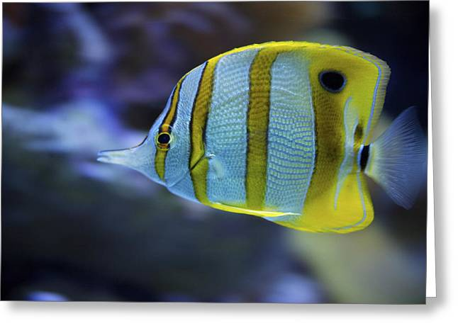 Aquarium Fish Greeting Cards - Captive Beaked Copper-banded Greeting Card by Tim Laman