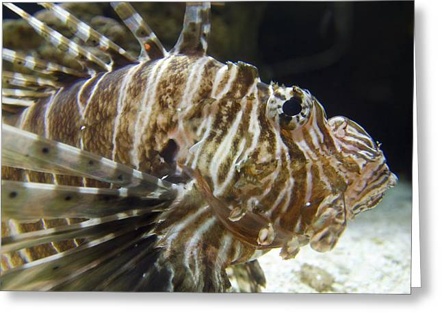 Captive Animals Greeting Cards - Captive Lionfish Turkeyfish Pterois Greeting Card by Rich Reid