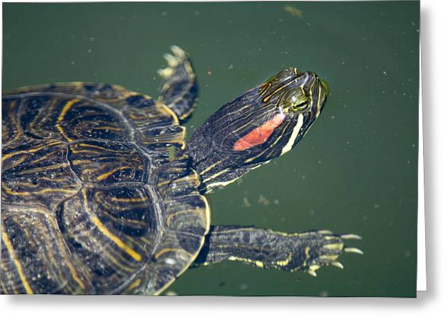 Red-eared Greeting Cards - Captive Red-eared Slider Turtle Greeting Card by Paul Sutherland