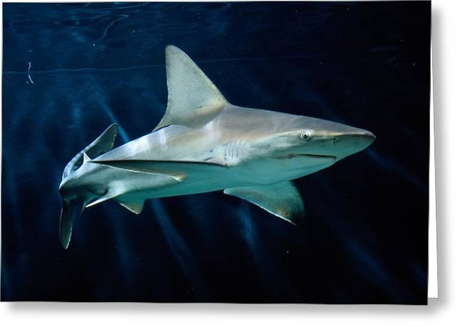 Sandbar Greeting Cards - Captive Sandbar Shark Carcharhinus Greeting Card by George Grall