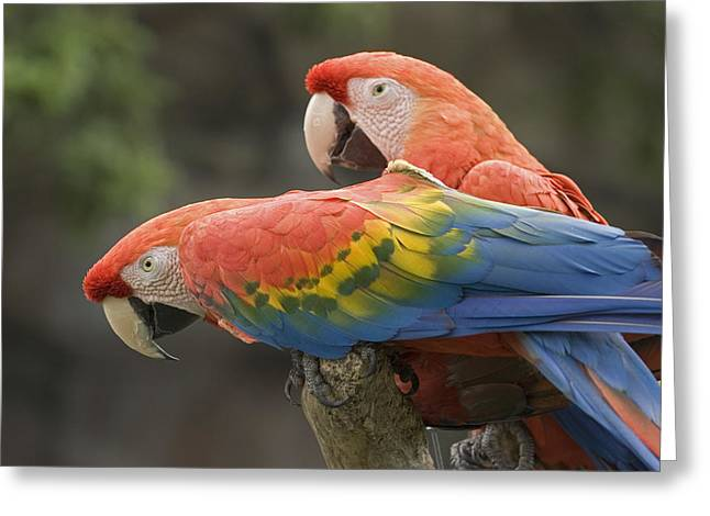Macaw Profile Greeting Cards - Captive Scarlet Macaws Ara Macao Greeting Card by Rich Reid