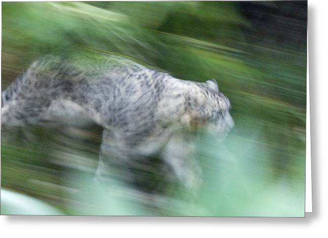 Leopard Running Greeting Cards - Captive Snow Leopard Panthera Uncia Greeting Card by Rich Reid