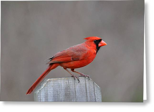 Cardinals. Wildlife. Nature. Photography Greeting Cards - Cardinal 2 Greeting Card by Todd Hostetter