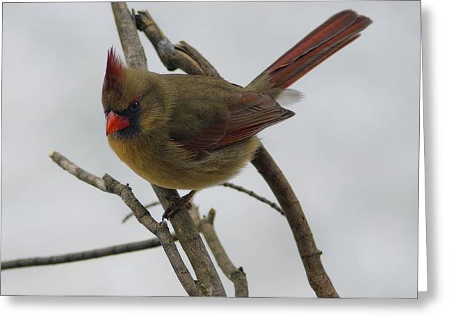 Wild Orchards Greeting Cards - Cardinal Cold Winter Stare Greeting Card by LeeAnn McLaneGoetz McLaneGoetzStudioLLCcom