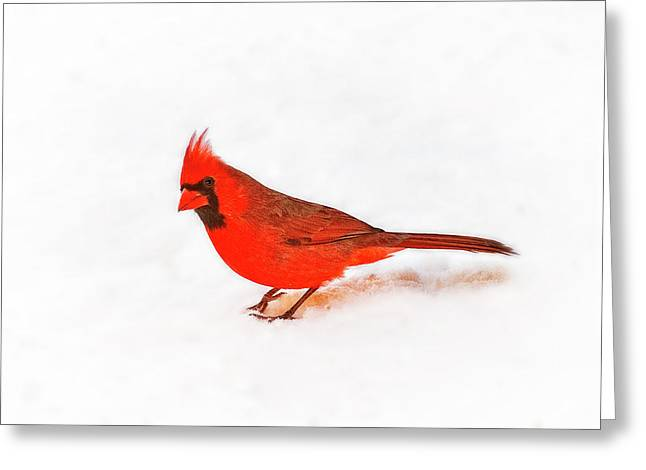 Tamyra Ayles Photographs Greeting Cards - Cardinal Curiosity Greeting Card by Tamyra Ayles