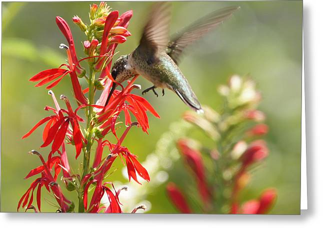Reflections Of Infinity Greeting Cards - Cardinal Flower and Hummingbird 1 Greeting Card by Robert E Alter Reflections of Infinity