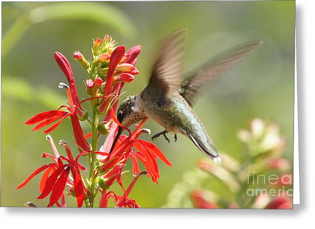 Reflections Of Infinity Llc Greeting Cards - Cardinal Flower and Hummingbird 2 Greeting Card by Robert E Alter Reflections of Infinity