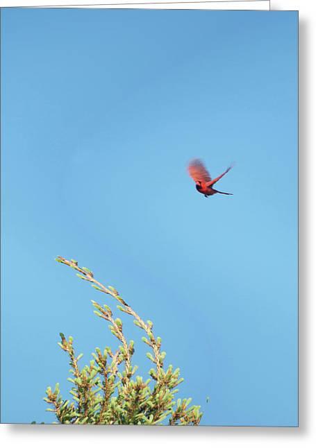 Cardinal In Full Flight Digital Art Greeting Card by Thomas Woolworth