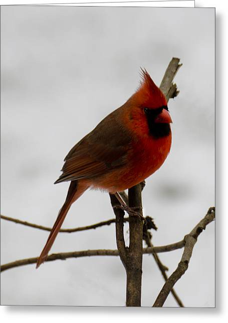 Wild Orchards Greeting Cards - Cardinal in the snow Greeting Card by LeeAnn McLaneGoetz McLaneGoetzStudioLLCcom