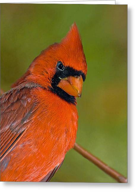 Susan Leggett Greeting Cards - Cardinal With Attitude Greeting Card by Susan Leggett