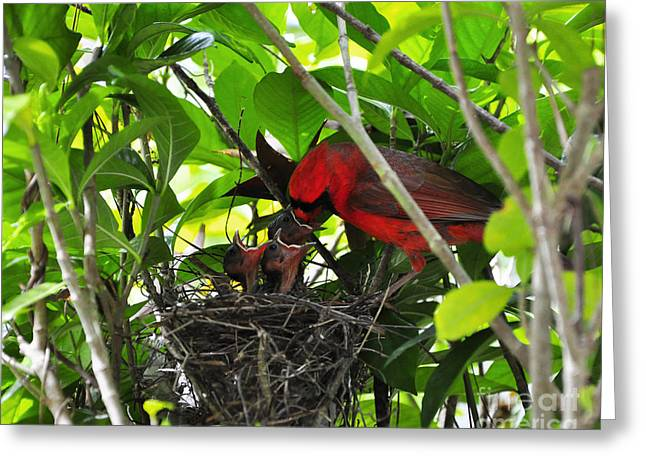 Baby Bird Greeting Cards - Cardinals Chowtime Greeting Card by Al Powell Photography USA