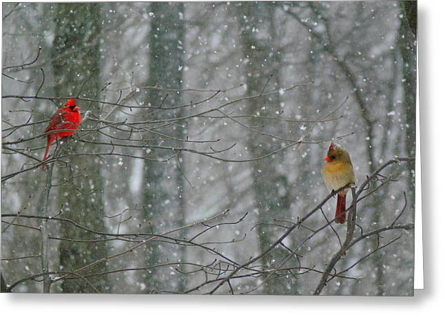 Cardinal In Snow Greeting Cards - Cardinals in Snow Greeting Card by Serina Wells