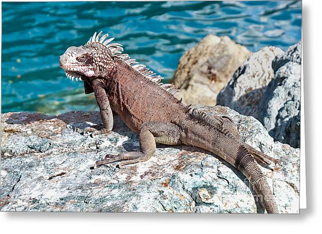 Tropical Wildlife Greeting Cards - Caribbean Iguana Greeting Card by Jim Chamberlain