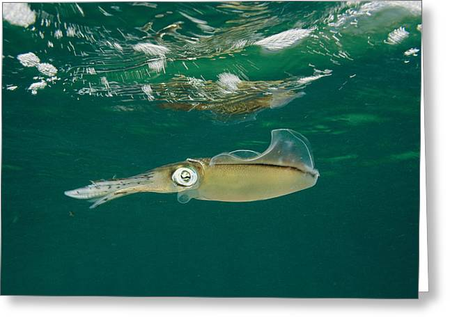 Aquatic Split Level Views Greeting Cards - Caribbean Reef Squid Have About 35 Greeting Card by Brian J. Skerry
