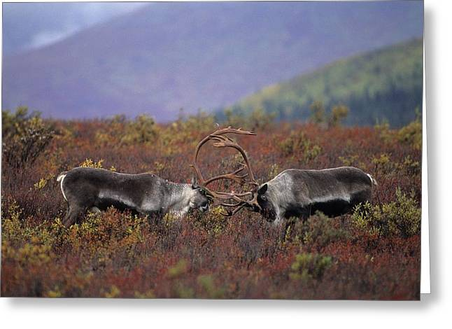 Aggression And Competition Greeting Cards - Caribou Practice Sparring Greeting Card by Paul Nicklen
