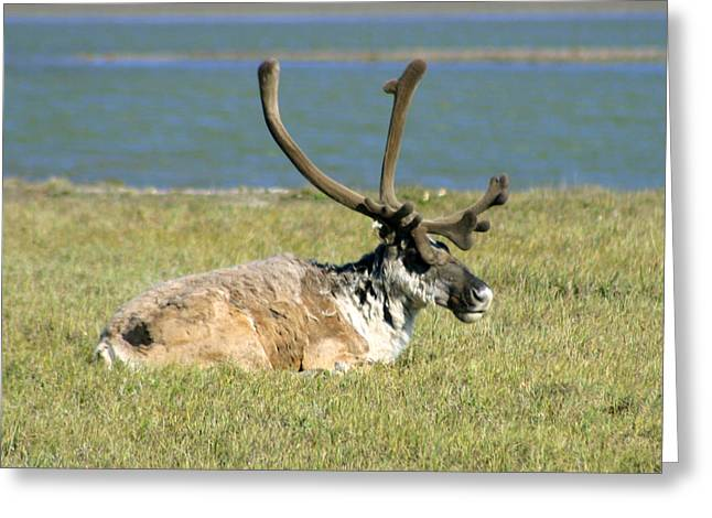 Caribou Greeting Cards - Caribou Resting Greeting Card by Anthony Jones