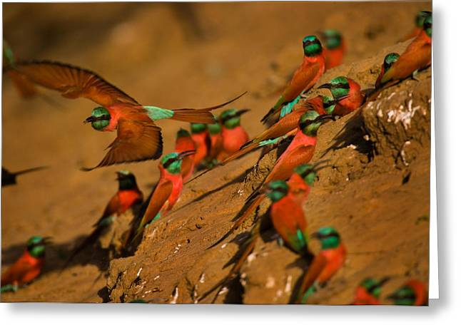 Carmine Greeting Cards - Carmine Bee Eater Birds Nesting Greeting Card by Michael Nichols