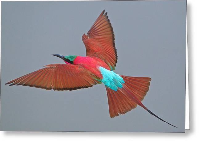 Bee In Flight Greeting Cards - Carmine bee-eater in flight Greeting Card by Johan Elzenga