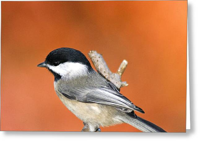 Carolina Chickadee - D007812 Greeting Card by Daniel Dempster