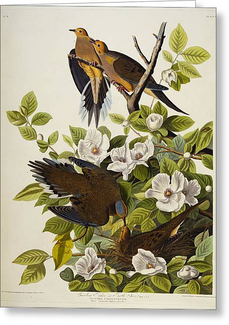 1851 Greeting Cards - Carolina Turtledove Greeting Card by John James Audubon
