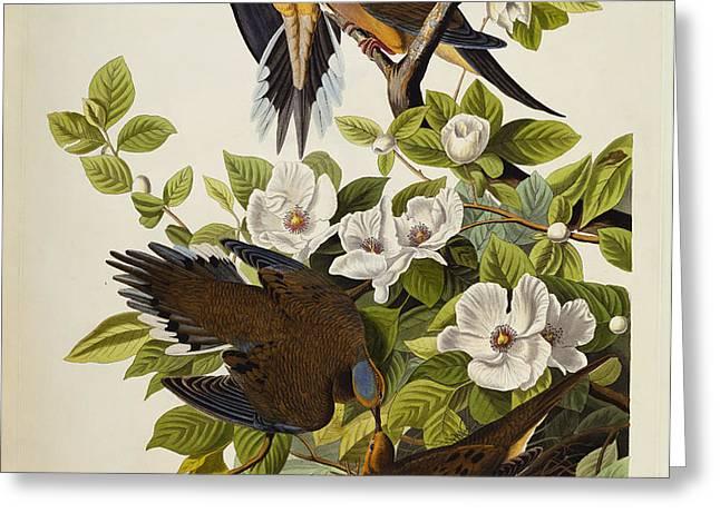 Carolina Turtledove Greeting Card by John James Audubon