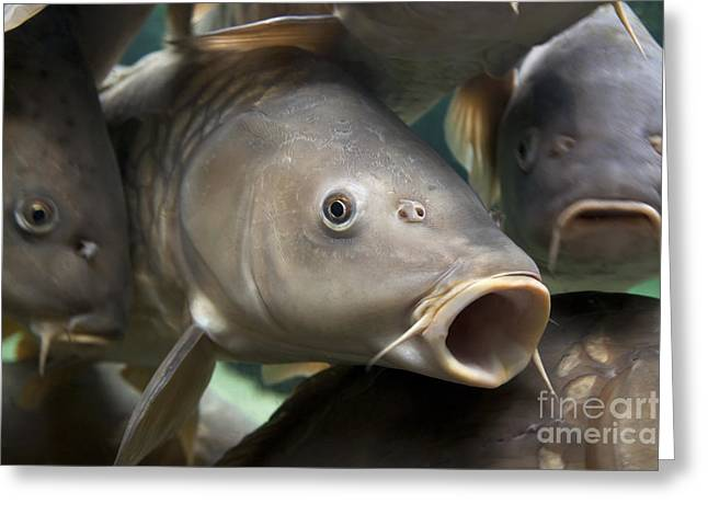 Wild-caught Greeting Cards - Carp Greeting Card by Jane Rix