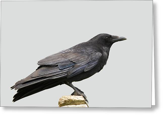 Corvus Greeting Cards - Carrion Crow Greeting Card by Power And Syred