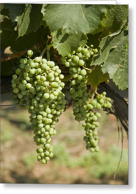 White Grape Greeting Cards - Casa Blanca Valley, Wine Growing Region Greeting Card by Richard Nowitz