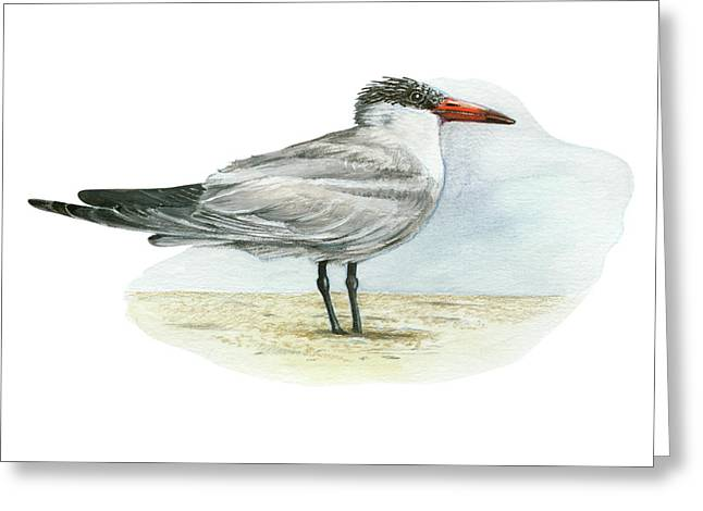 Tern Drawings Greeting Cards - Caspian Tern Greeting Card by Lionel Portier