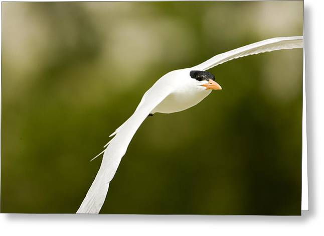 Tern Greeting Cards - Caspian Tern Sterna Caspia In Flight Greeting Card by Tim Laman