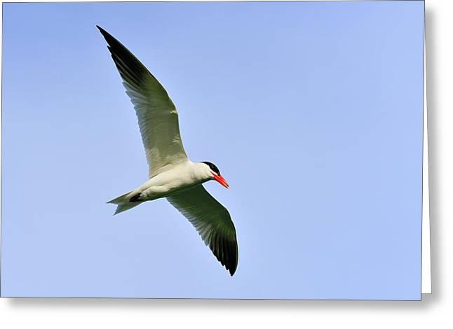 Tern Greeting Cards - Caspian Tern Greeting Card by Tony Beck