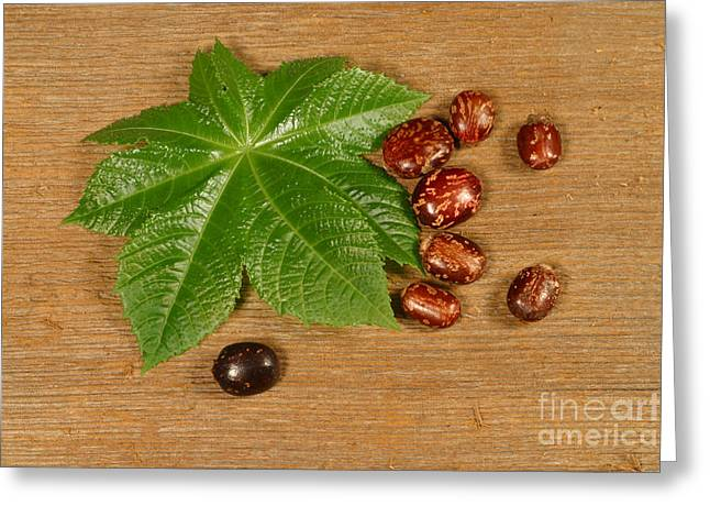 Green Beans Greeting Cards - Castor Bean Leaf And Seeds Greeting Card by Ted Kinsman